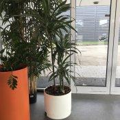 Plante m. hvid krukke